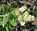 Lepechinia calycina 3.jpg