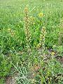 Lepidium perfoliatum sl11.jpg