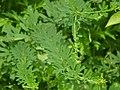 Lespedeza cuneata's foliage.JPG