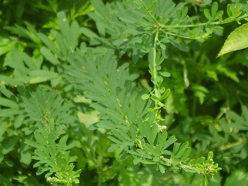 File:Lespedeza cuneata's foliage.JPG