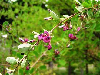 Lespedeza - Lespedeza cyrtobotrya flowering branch