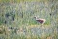 Lesser Sandhill Crane Colt (42603732924).jpg