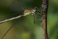 Lestes virens female 1.png