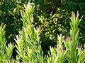 Leucadendom meridanium.JPG