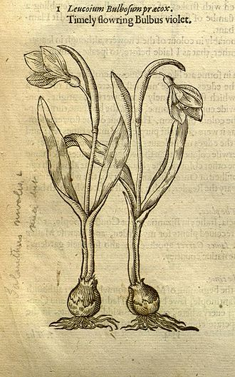 Galanthus - G. nivalis from John Gerard's Herball, 1597
