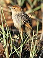 Levaillant's Cisticola, Cisticola tinniens at Suikerbosrand Nature Reserve, Gauteng, South Africa (15166275041).jpg