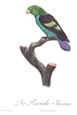 Levaillant Parrot 69.jpg