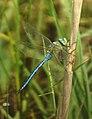 Libélula - Dragonfly - Anax imperator (376907602).jpg