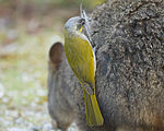 Lichenostomus flavicollis stealing hair from Thylogale billardierii for nest - Melaleuca.jpg