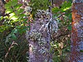 Lichens on burnside ash - geograph.org.uk - 1519441.jpg