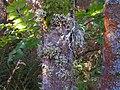 Lichens on burnside ash - geograph.org.uk - 1519441.jpg