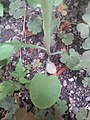 Likely Sonchus oleraceus 3.jpg