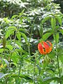 Lilium Bellingham hybrid? (9342033803).jpg