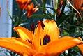 Lilium Loreto 1zz.jpg