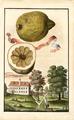 Limon da Portugal dolce Volkamer 1708 132b.png