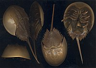 Limulus polyphemus from many angles