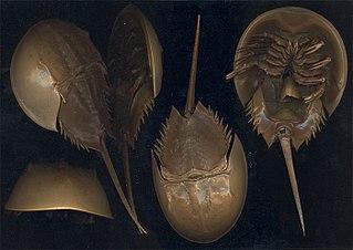 Horseshoe crab family of arthropods