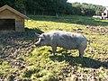 Linderödssvin (6070219859).jpg
