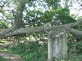 Lingshan Islamic Cemetery - old banyan trees - DSCF8463.JPG