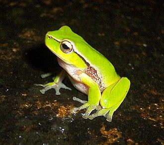 Leaf green tree frog - Image: Litoria nudidigitus