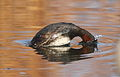 Little Grebe (or Dabchick), Tachbaptus ruficollis, at Marievale Nature Reserve, Gauteng, South Africa - breeding plumage (20787803004).jpg