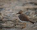 Little ringed plover - Jason Thompson.jpg