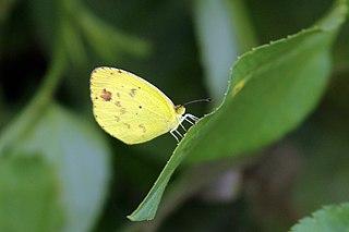 <i>Eurema lisa</i> species of insect