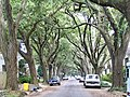 Live Oak Canopy, Willow Street New Orleans May 2005.jpg