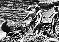 Live catching of Sealion in Takeshima, by Japanese fishermans.jpg