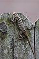 Lizard climbing a fence.jpg