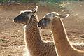 Llamas - 11065702125.jpg