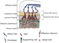 Location of olfactory ensheathing cells (OECs) within the olfactory system.png