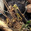 Locusta-migratoria.jpg