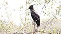 Long-crested Eagle (Lophaetus occipitalis) (46549236241).jpg