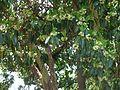 Lophostemon confertus, loof en blomme, Pretoria, e.jpg