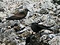 Lord Howe Island - Noddies 1.JPG