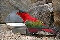 Lorius domicella -Artis Zoo -Netherlands-8b.jpg