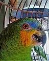 Loro guaro (Amazona amazonica).jpg