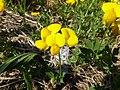 Lotus corniculatus, Faver 01.jpg