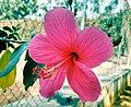 Lovely hibiscus.jpg
