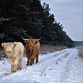 Lovely together at the walking road. Its convenient, even for these Scottisch cows at Deelerwoud - panoramio.jpg