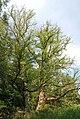 Luebeck Flatterulmen Naturdenkmal.jpg