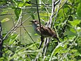 Luscinia megarhynchos, mali slavuj.jpg
