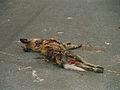 Lycaon pictus (roadkill).jpg