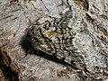 Lycia hirtaria ♂ - Brindled beauty (male) - Пяденица-шелкопряд бурополосая (самец) (39117613420).jpg