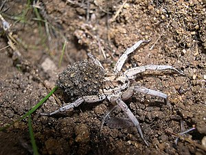 Tarantism - Lycosa tarantula carrying her offspring