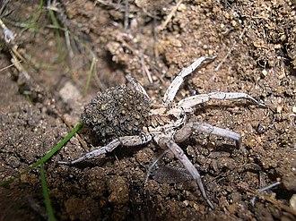 Tarantism - Lycosa tarantula carrying her offspring