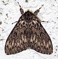 Lymantria monacha01.jpg