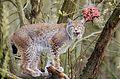 Lynx (16848030787).jpg