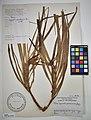 MNH DA 017-PAND-090 Freycinetia palawanensis Merr. Ex Elm.jpg